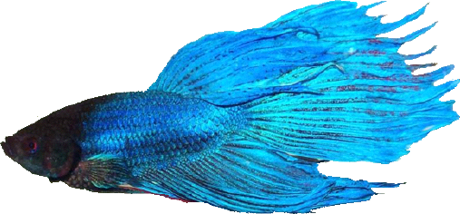 Getting to know your fish the betta boss for How big can a betta fish get